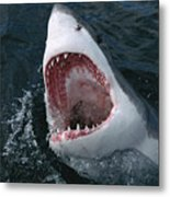 Great White Shark Jaws Metal Print by Mike Parry