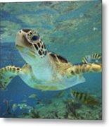 Green Sea Turtle Chelonia Mydas Metal Print by Tim Fitzharris