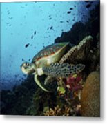 Green Sea Turtle Resting On A Plate Metal Print by Mathieu Meur