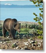 Grizzly Sow At Yellowstone Lake Metal Print by Sandra Bronstein