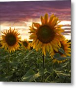Happiness Is A Field Of Sunflowers Metal Print by Debra and Dave Vanderlaan