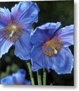 Himalayan Poppy (meconopsis Grandis) Metal Print by Dr Keith Wheeler