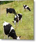 Holstein Cattle Metal Print by Gaspar Avila
