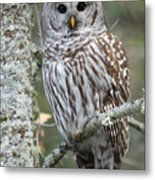 Hoot Hoot Hoot Are You Metal Print by Beve Brown-Clark Photography