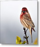 House Finch In Autumn Rain Metal Print by Laura Mountainspring