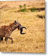 Hungry Hyena Metal Print by Adam Romanowicz