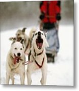 Husky Dog Racing Metal Print by Axiom Photographic