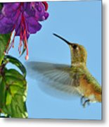 Jeweled Rufous In Afternoon Light Metal Print by Laura Mountainspring