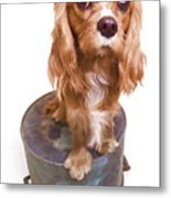 King Charles Spaniel Puppy Metal Print by Edward Fielding