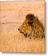King Of The Pride Metal Print by Adam Romanowicz