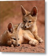 Kit Fox Pups On A Lazy Day Metal Print by Max Allen