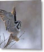 Landing Hawk Owl Metal Print by Tim Grams