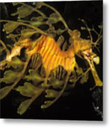 Leafy Seadragon, Off Kangaroo Island Metal Print by James Forte