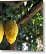 Lemons Hanging From A Lemon Tree Metal Print by Richard Nowitz