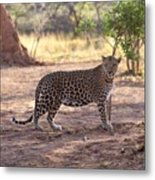 Leopard Metal Print by Keith Levit