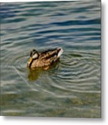 Lone Duck Swimming On A River Metal Print by Todd Gipstein