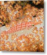 Longnose Hawkfish Metal Print by Dave Fleetham - Printscapes