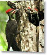 Male Pileated Woodpecker At Nest Metal Print by Mircea Costina Photography