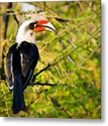 Male Von Der Decken's Hornbill Metal Print by Adam Romanowicz