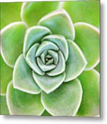 Mexican Snowball Succulent  Metal Print by Neil Overy