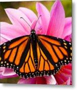 Monarch And Dahlia Metal Print by Steve Augustin