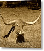 Monochrome Longhorn Cow Rsting In Grass Metal Print by M K  Miller