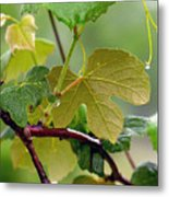 My Grapvine Metal Print by Robert Meanor