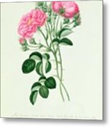 New Crimson Double Sweet Briar Of New York Metal Print by Pierre Joseph Redoute