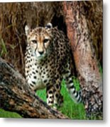 On The Prowl Metal Print by Heather Thorning