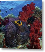 Orange-finned Clownfish And Soft Corals Metal Print by Terry Moore