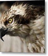 Osprey Metal Print by Adam Romanowicz