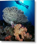Palau, Diving Metal Print by Dave Fleetham - Printscapes
