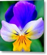 Pansy Metal Print by Kathleen Struckle
