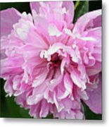 Peony Perfection Metal Print by Angelina Vick