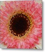 Pink And Brown Gerber Center Metal Print by Amy Vangsgard