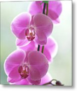 Pink Orchids Metal Print by Kicka Witte - Printscapes