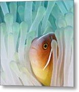 Pink Skunk Clownfish Metal Print by Liquid Kingdom - Kim Yusuf Underwater Photography