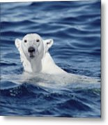 Polar Bear Swimming Baffin Island Canada Metal Print by Flip Nicklin