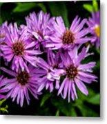 Purple Aster Blooms Metal Print by John Haldane