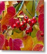 Red Berries Fall Colors Metal Print by James Steele