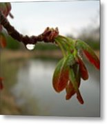 Red Maple Seed Pods At Dawn Metal Print by Kent Lorentzen