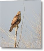 Red Tailed Hawk 20100101-5 Metal Print by Wingsdomain Art and Photography