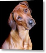 Rhodesian Ridgeback Metal Print by Julie L Hoddinott