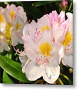 Rhododendron Metal Print by Catherine Reusch  Daley