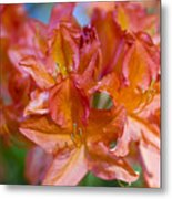 Rhododendron Flowers Metal Print by Frank Tschakert