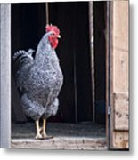 Rooster With Attitude Metal Print by Douglas Barnett