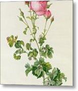 Rosa Centifolia Bipinnata Metal Print by Pierre Joseph Redoute