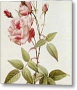 Rosa Indica Vulgaris Metal Print by Pierre Joseph Redoute