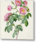 Rosa Mollissima Metal Print by Claude Antoine Thory