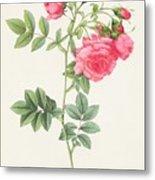 Rosa Pimpinellifolia Flore Variegato  Metal Print by Pierre Joseph Redoute